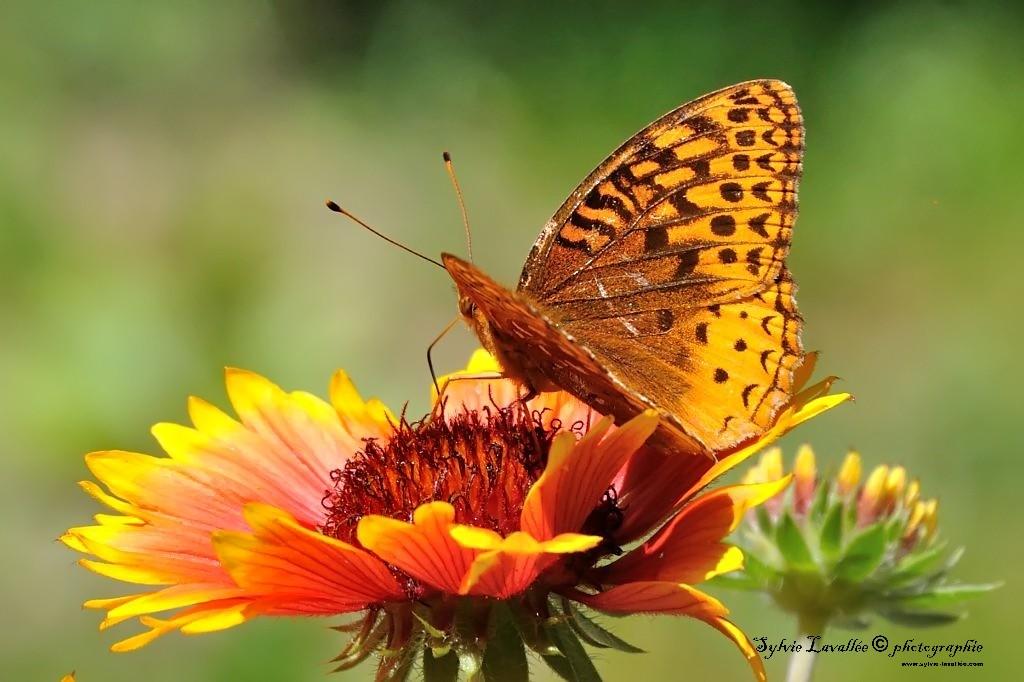 Papillon sur fleur Dsc_2792-2-1024-s