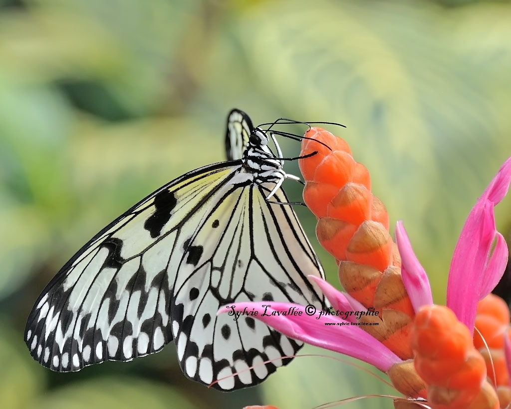 Papillons en liberté (J.B.) 2014 Dsc_3292-2-1024-s