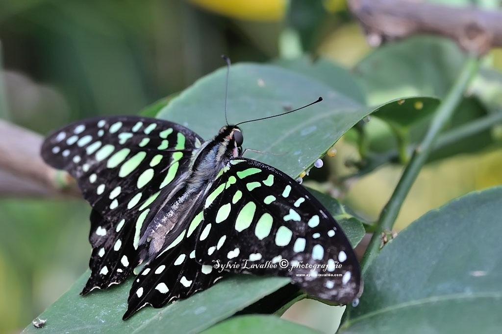 Papillons en liberté (J.B.) 2014 Dsc_3769-2-1024-s