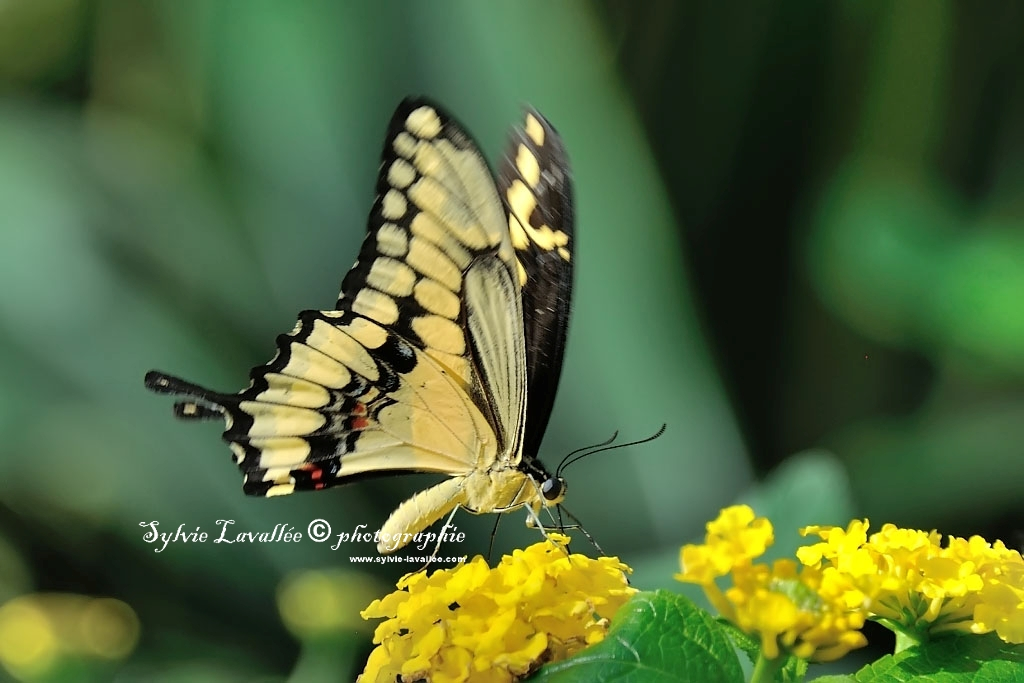 Papillons en liberté (J.B.) 2014 Dsc_3812-2-1024-s
