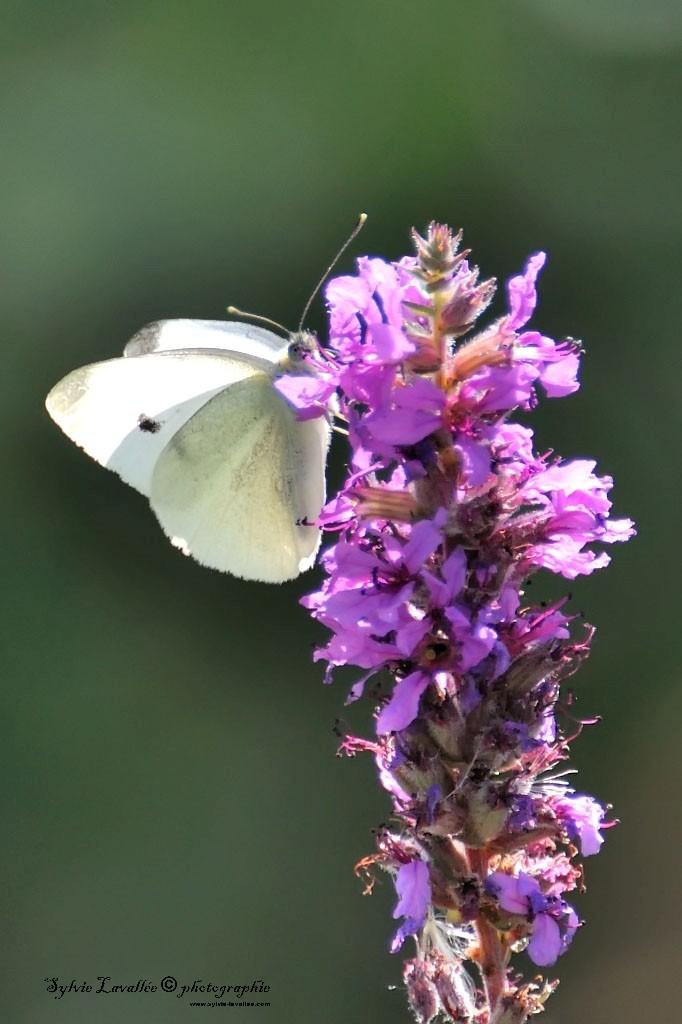 Papillon Dsc_9787-2-1024-s