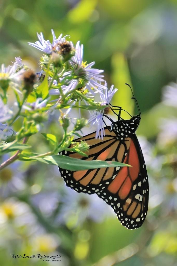 Papillon Dsc_9976-2-1024-s