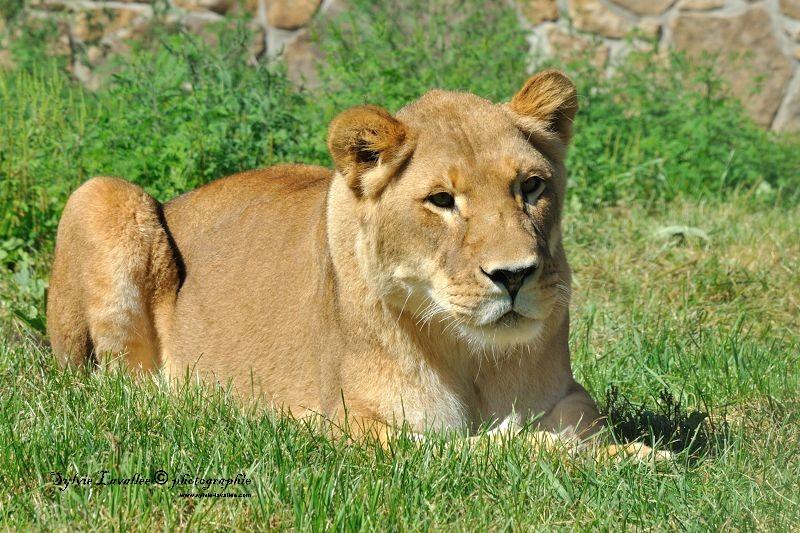 Tigre et lionne Dsc_4413-2-800-s