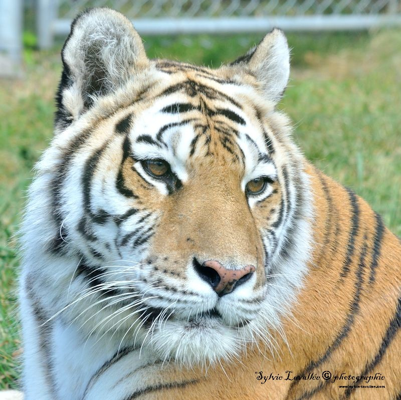 Tigre et lionne Dsc_4450-2-800-s